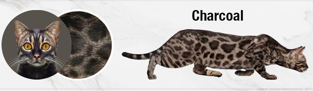 brown charcoal bengal cats color