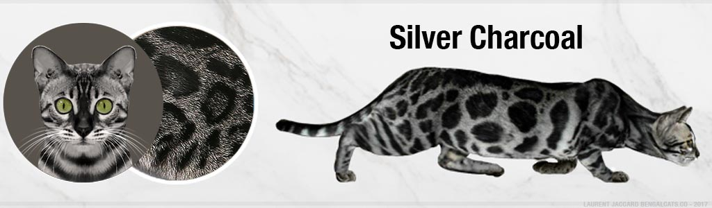 silver charcoal bengal cats color